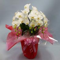 昇進 昇格祝い 花束 胡蝶蘭